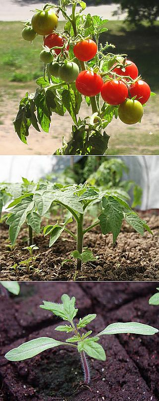 Secrets of cultivation tomato