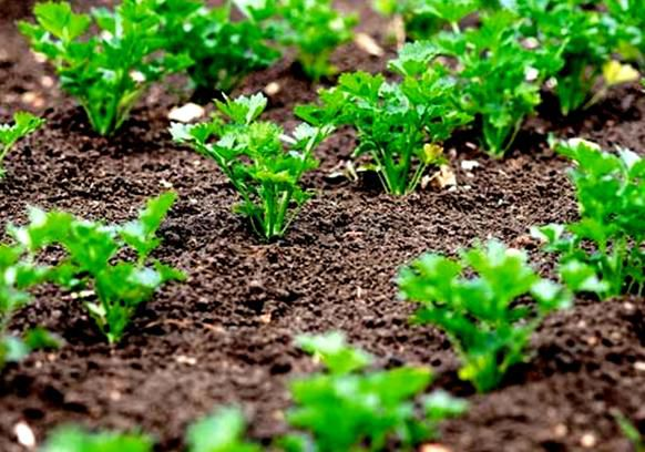 Whether you know that parsley can be grown up literally within 3 hours?.